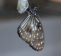 Blue Tiger butterfly emerging